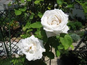 オープンアーチの純白のつるバラ