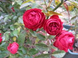 まりのようなバラ