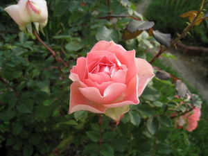 花びらの裏と表のコントラストが美しいルル
