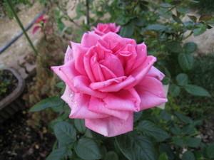 オープンガーデンの中央に鎮座する美しいピンク色のバラ