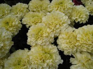 バニラホワイトの大粒のマリーゴールドは個性的な花々の中にあって、静かに自己主張しています