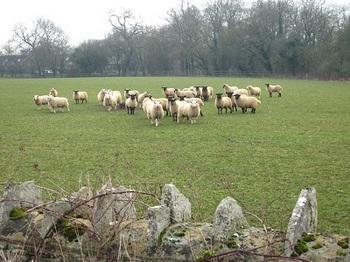 コッツウオルズの羊たち.jpg